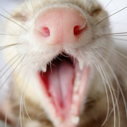 Rascally Ferret Teeth